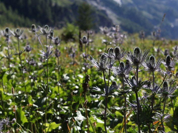 Reine des Alpes (Panicaut ou Chardon Bleu)