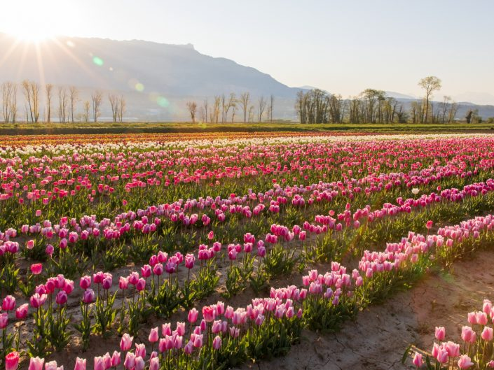 Tulipes du Tremblay